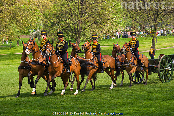 The King's Troops, Royal Horse Artillery, mounted on Irish Draft horses and dressed in official uniforms, parade to celebrate the Queen's Official Birthday, Hyde park, London, England, UK. The horses pull a WWI canon used for the gun salutes, during official ceremonies. June 2009  ,  ARMY,CEREMONY,CITIES,COSTUME,DOMESTIC HORSE ,EQUUS CABALLUS,EUROPE,GUN,HORSES,PARKLAND,PEOPLE,RIDING,ROYAL,SOLDIERS,TRADITIONAL,UK, United Kingdom  ,  Kristel Richard