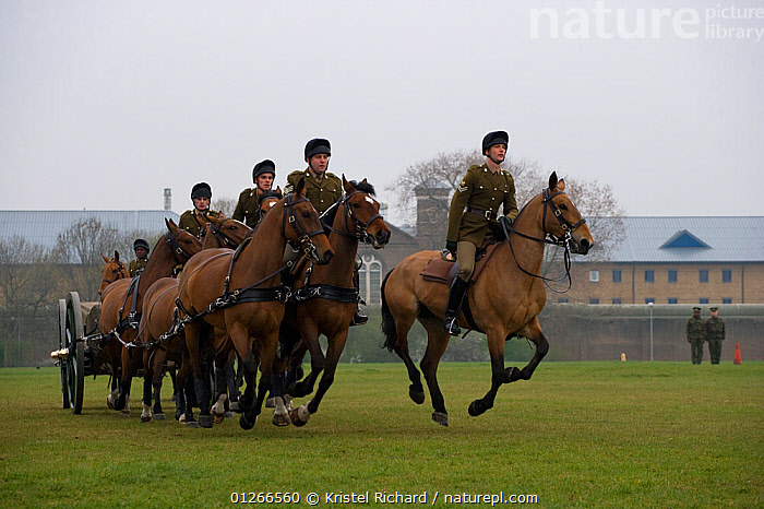 The King's Troops, Royal Horse Artillery, mounted on Irish Draft horses and dressed in training uniform, exercise in Wormwood Scrubs, London, UK. The horses pull a WWI canon used for the gun salutes, during official ceremonies. 2009  ,  ARMY,CEREMONY,CITIES,DOMESTIC HORSE ,EQUUS CABALLUS,EUROPE,FORMATION,GROUPS,HORSE,HORSES,PEOPLE,RIDING,ROYAL,SOLDIERS,TRADITIONAL,UK, United Kingdom  ,  Kristel Richard