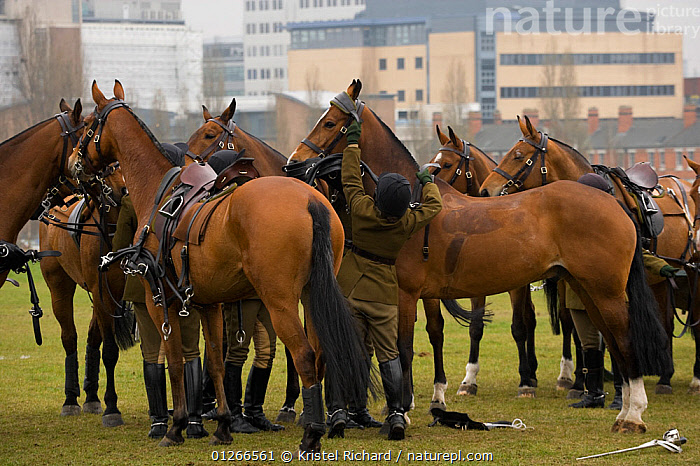 The King's Troops, Royal Horse Artillery, dressed in training uniform, untack their Irish Draft horses after exercising in Wormwood Scrubs, London, UK. 2009  ,  ARMY,BUILDINGS,CEREMONY,CITIES,DOMESTIC HORSE ,EQUUS CABALLUS,EUROPE,GROUPS,HORSE,HORSES,PEOPLE,RIDING,ROYAL,SOLDIERS,TRADITIONAL,UK, United Kingdom  ,  Kristel Richard