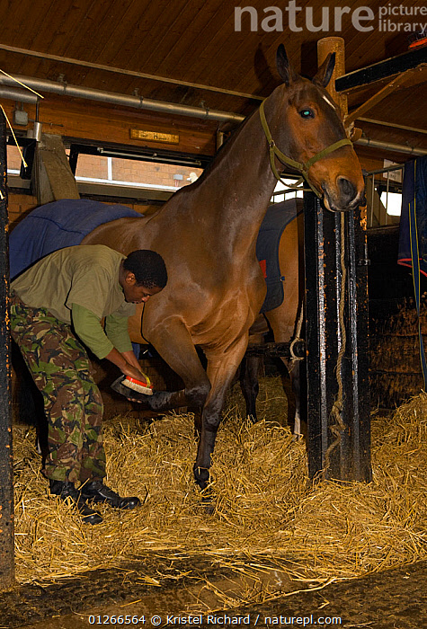 A soldier, from the King's Troop, Royal Horse Artillery, grooms an Irish Draft horse at the St John's Woods Barracks, London, England, UK. 2009  ,  ARMY,DOMESTIC HORSE ,EQUUS CABALLUS,EUROPE,GROOMING,HORSES,INDOORS,PEOPLE,SOLDIERS,STABLES,UK,VERTICAL, United Kingdom,Equines ,HORSES,PERISSODACTYLA,VERTEBRATES,MAMMALS  ,  Kristel Richard