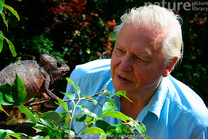David Attenborough observing a Oustalet's chameleon (Furcifer oustaleti), Northern Madagascar, January 2007, on location for BBC NHU series 'Life in Cold Blood'  ,  CHAMELEONS,MADAGASCAR,PEOPLE,REPTILES,RESERVE,VERTEBRATES, chameleons  ,  Miles Barton
