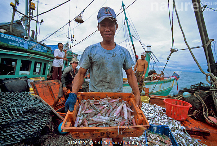 Fisherman holding squid (Loligo vulgaris) caught by dragger fishing boat, Sihanoukville, Cambodia / Kampuchea, June 2008  ,  ABOARD,ASIA,BOATS,CAMBODIA,CEPHALOPODA,CEPHALOPODS,COMMERCIAL,FISH,FISHERIES,FISHING,FISHING BOATS,INDO PACIFIC,MOLLUSCS,PEOPLE,SQUIDS,SOUTH-EAST-ASIA,Invertebrates  ,  Jeff Rotman