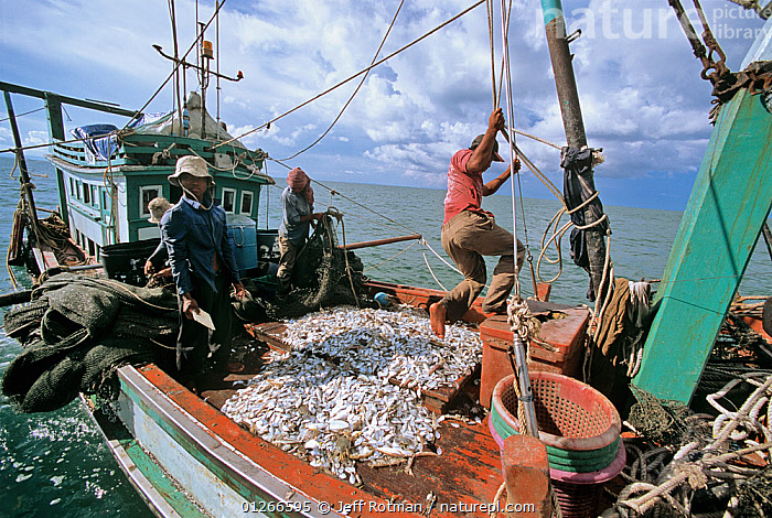 Sorting catch of juvenile fish and shrimp on fishing dragger boat, Sihanoukville, Cambodia / Kampuchea, June 2008  ,  ABOARD,ASIA,BOATS,CAMBODIA,COMMERCIAL,CRUSTACEANS,FISH,FISHERIES,FISHING,INDO PACIFIC,INVERTEBRATES,JUVENILE,PEOPLE,PROCEDURES,SHRIMPS,SOUTH-EAST-ASIA  ,  Jeff Rotman