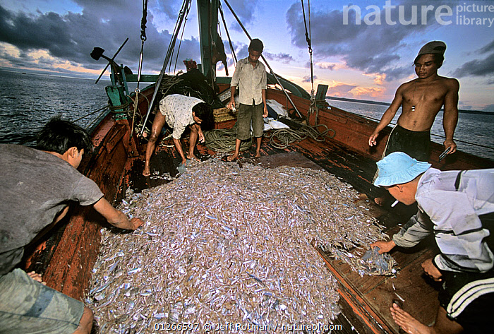 Sorting catch of juvenile fish and shrimp on fishing dragger boat, Sihanoukville, Cambodia / Kampuchea, June 2008  ,  ABOARD,ASIA,BOATS,CAMBODIA,COMMERCIAL,CRUSTACEANS,DUSK,FISH,FISHERIES,FISHING,FISHING BOATS,INDO PACIFIC,INVERTEBRATES,JUVENILE,PEOPLE,PROCEDURES,SHRIMPS,SOUTH-EAST-ASIA  ,  Jeff Rotman