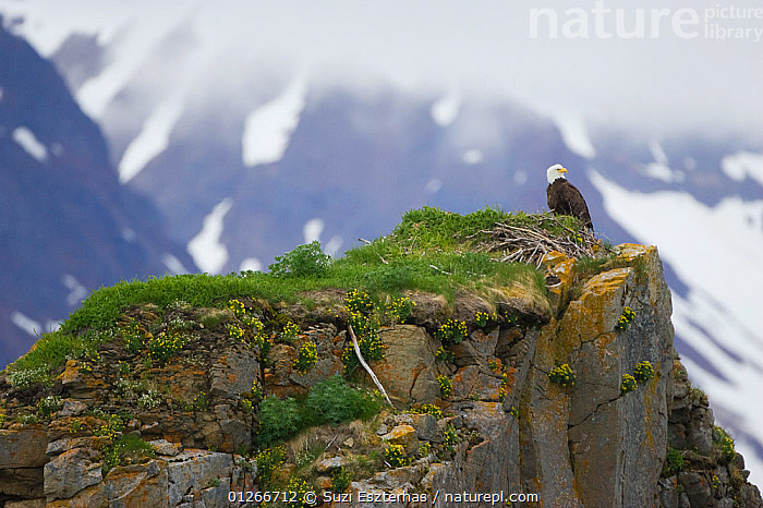 American bald eagle (Haliaeetus leucocephalus)  perched on rock with mountains in background, Katmai National Park, Alaska, USA, June  ,  ALASKA,BIRDS OF PREY,EAGLES,LANDSCAPES,MOUNTAINS,NP,RESERVE,SNOW,USA,VERTEBRATES,National Park,North America,Raptor  ,  Suzi Eszterhas