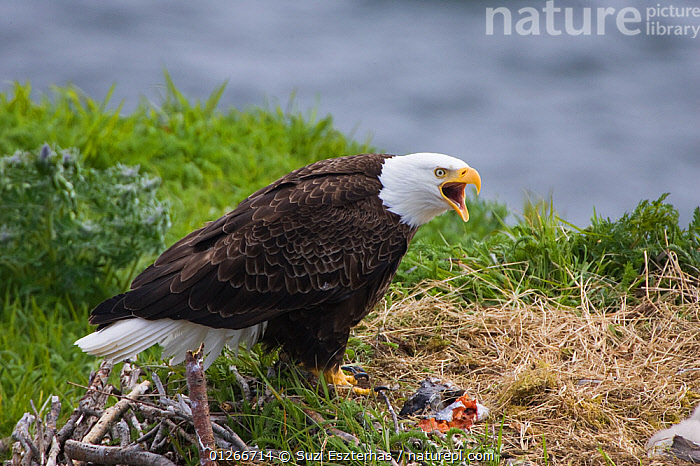 American bald eagle (Haliaeetus leucocephalus)  at nest with fish for chick, calling, Katmai National Park, Alaska, USA, June  ,  ALASKA,BEHAVIOUR,BIRDS OF PREY,CHICKS,EAGLES,FEEDING,FISH,NESTS,NP,RESERVE,USA,VERTEBRATES,VOCALISATION,National Park,North America,Raptor  ,  Suzi Eszterhas