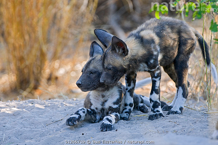 African wild dog (Lycaon pictus) 6-8 week pups, Okavango Delta, Botswana, July  ,  BABIES,DOGS,ENDANGERED,INTERACTION,MAMMALS,PUPPIES,RESERVE,SOUTHERN AFRICA,TWO,VERTEBRATES,Canids  ,  Suzi Eszterhas