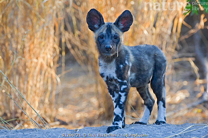 African wild dog (Lycaon pictus) 6-8 week pup, Okavango Delta, Botswana, July  ,  BABIES,CANIDS,CARNIVORES,CUTE,DOGS,ENDANGERED,MAMMALS,PORTRAITS,RESERVE,SOUTHERN AFRICA,VERTEBRATES  ,  Suzi Eszterhas