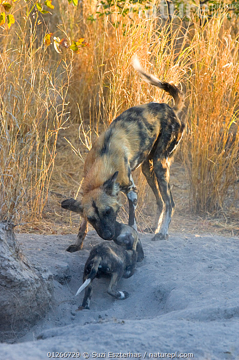 African wild dog (Lycaon pictus) adult interacting with pup at entrance to den, Okavango Delta, Botswana, July  ,  BABIES,BEHAVIOUR,CANIDS,CARNIVORES,DOGS,ENDANGERED,GREETING,MAMMALS,MOTHER BABY,PUPPIES,RESERVE,SOCIAL BEHAVIOUR,SOUTHERN AFRICA,VERTEBRATES,VERTICAL  ,  Suzi Eszterhas