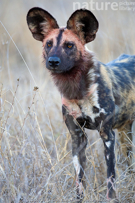African wild dog (Lycaon pictus) portrait, Mala Mala Reserve, South Africa, July  ,  CANIDS,CARNIVORES,DOGS,EARS,ENDANGERED,MAMMALS,PORTRAITS,RESERVE,SOUTHERN AFRICA,VERTEBRATES,VERTICAL  ,  Suzi Eszterhas