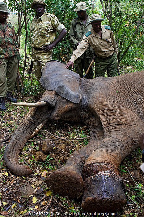 African elephant (Loxodonta africana) rangers and veterinarians attempting to remove snare from elephant's foot, Masai Mara Conservancy, Kenya, August 2006  ,  CONSERVATION,DEATH,EAST AFRICA,ELEPHANTS,ENDANGERED,FEMALES,ILLEGAL,MAMMALS,PEOPLE,POACHERS,POACHING,PROBOSCIDS,RANGERS,RESERVE,VERTEBRATES,VERTICAL,WARDENS,WOUNDED  ,  Suzi Eszterhas