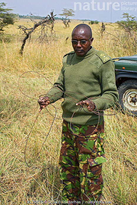 Ranger disassembling snare set up in bushes by poachers, Masai Mara Conservancy, Kenya, August 2006  ,  CONSERVATION,EAST AFRICA,ILLEGAL,PEOPLE,POACHERS,POACHING,RANGERS,RESERVE,SAVANNA,SNARES,VERTICAL,WARDENS,Grassland  ,  Suzi Eszterhas