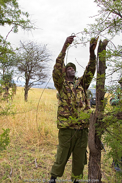 Anti-poaching patrol removing live snare from bushes, Masai Mara Conservancy, Kenya, August 2006  ,  CONSERVATION,EAST AFRICA,ILLEGAL,PEOPLE,POACHERS,POACHING,RANGERS,RESERVE,VERTICAL,WARDENS  ,  Suzi Eszterhas