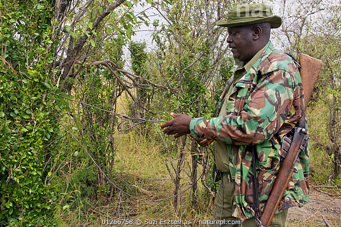 Mara Conservancy Rangers (Anti-poaching unit) removing snares from bushes, Masai Mara Conservancy, Kenya, August 2006  ,  CONSERVATION,EAST AFRICA,GUNS,ILLEGAL,PEOPLE,POACHERS,POACHING,RANGERS,RESERVE,RIFLE,SNARES,WARDENS  ,  Suzi Eszterhas