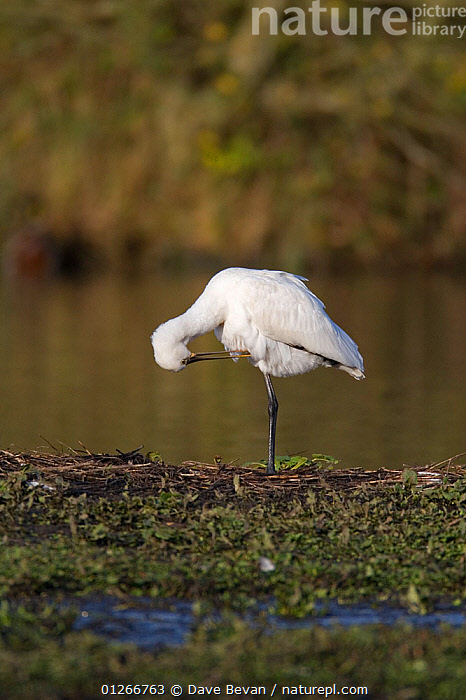 White spoonbill (Platalea leucorodia) preening on river bank, Carmarthenshire, Wales, UK  ,  BEHAVIOUR,BIRDS,EUROPE,GROOMING,SPOONBILLS,UK,VERTEBRATES,VERTICAL,WALES, United Kingdom  ,  Dave Bevan