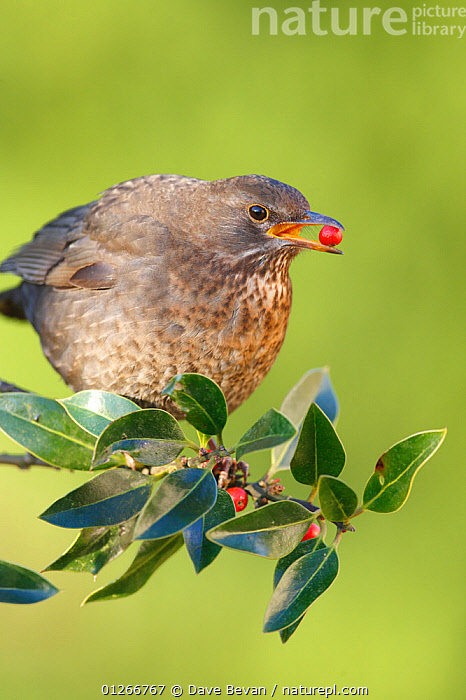 Blackbird (Turdus merula) female feeding on holly berries, Wales, UK  ,  BEHAVIOUR,BERRIES,BIRDS,EUROPE,FEEDING,FEMALES,ILEX,RED,THRUSHES,UK,VERTEBRATES,VERTICAL, United Kingdom  ,  Dave Bevan