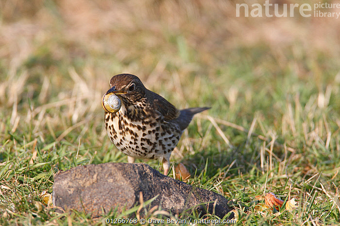 Song thrush (Turdus philomelos) with snail in beak, about to use stone anvil to crack shell, Wales, UK  ,  BEHAVIOUR,BIRDS,FEEDING,SHELLS,SNAILS,STONES,THRUSHES,UK,VERTEBRATES,Europe, United Kingdom  ,  Dave Bevan