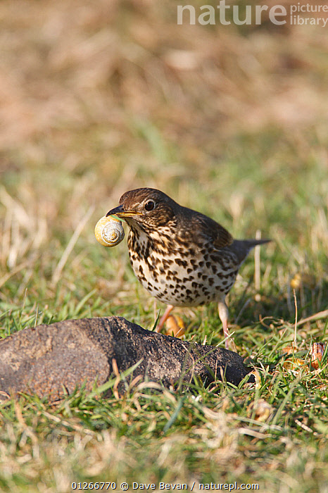 Song thrush (Turdus philomelos) with snail in beak, about to use stone anvil to crack shell, Wales, UK  ,  BEHAVIOUR,BIRDS,EUROPE,FEEDING,SHELLS,SNAILS,STONES,THRUSHES,UK,VERTEBRATES,VERTICAL, United Kingdom  ,  Dave Bevan