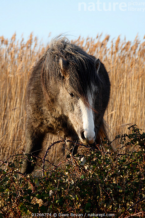 Pony browsing on brambles at Conwy RSPB reserve, North Wales, UK, January 2009  ,  BRAMBLE,EUROPE,FEEDING,HORSES,MAMMALS,PERISSODACTYLA,REEDS,RESERVE,UK,VERTEBRATES,VERTICAL,WALES, United Kingdom,Equines  ,  Dave Bevan