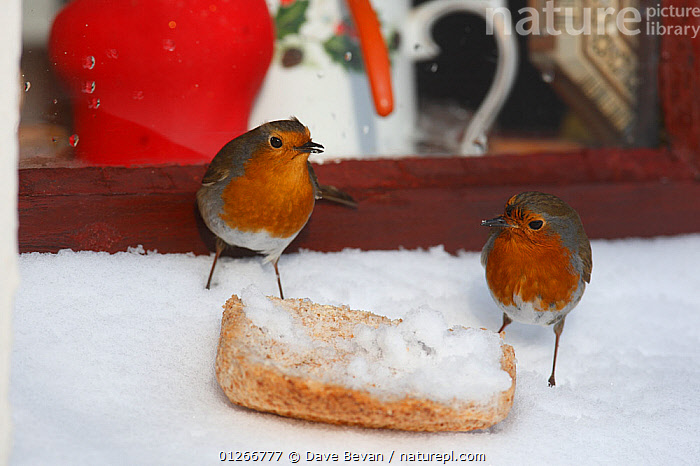 Robin (Erithacus rubecula) pair feeding on snow covered bread on windowsill, Wales, UK, February  ,  BIRDS,BUILDINGS,CHATS,FEEDERS,FEEDING,MALE FEMALE PAIR,SNOW,TWO,URBAN,VERTEBRATES,WINTER,Europe, United Kingdom  ,  Dave Bevan
