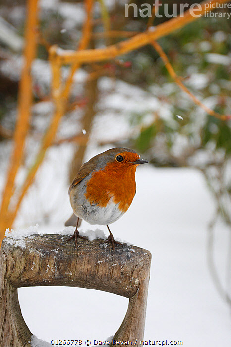 Robin (Erithacus rubecula) perched on garden fork handle in snow, Wales, UK  ,  BIRDS,CHATS,EUROPE,GARDENS,SNOW,SNOWING,UK,VERTEBRATES,VERTICAL,WALES,WINTER, United Kingdom  ,  Dave Bevan