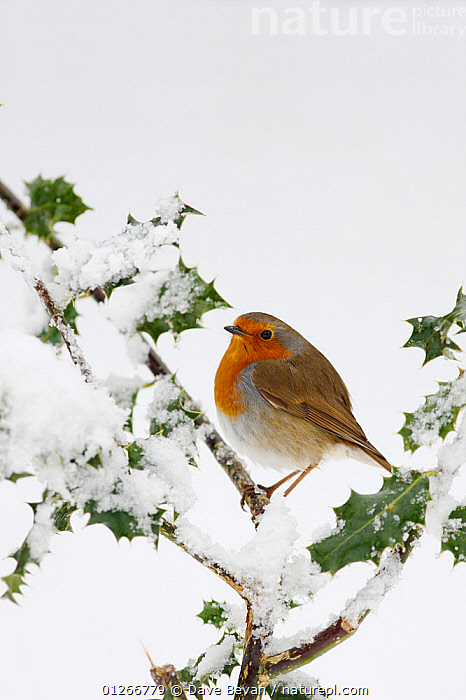 Robin (Erithacus rubecula) perched on snow covered Holly, Wales, UK  ,  BIRDS,CHATS,EUROPE,ILEX,SNOW,UK,VERTEBRATES,VERTICAL,WALES,WINTER, United Kingdom  ,  Dave Bevan