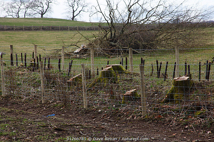 Double fencing to protect regenerating hedgerow, Wales, UK, February 2009  ,  CONSERVATION,EUROPE,FIELDS,HEDGEROWS,LANDSCAPES,MANAGEMENT,TRADITIONAL,UK,WALES, United Kingdom  ,  Dave Bevan
