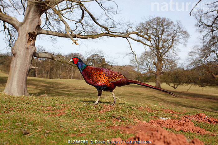 Pheasant (Phasianus colchicus) cock in open parkland, Wales, UK  ,  BIRDS,EUROPE,GALLIFORMES,GAME BIRDS,LANDSCAPES,MALES,PARKS,PHEASANTS,UK,VERTEBRATES,WALES, United Kingdom  ,  Dave Bevan