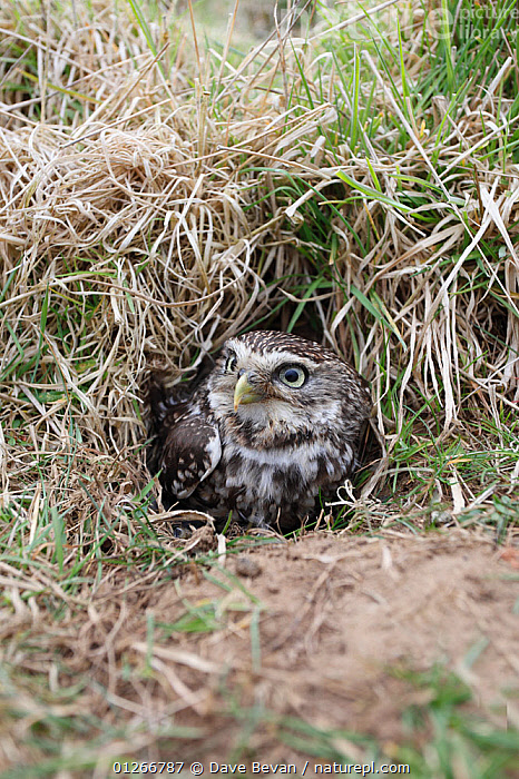 Little owl (Athene noctua) at entrance to nest burrow in old rabbit warren, Wales, UK  ,  BIRDS,BIRDS OF PREY,EUROPE,GROUND,NESTS,OWLS,UK,VERTEBRATES,VERTICAL,WALES, United Kingdom,Raptor  ,  Dave Bevan