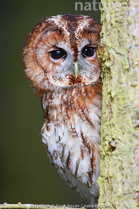 Tawny owl (Strix aluco) looking round side of tree trunk, Wales, UK Not available for ringtone/wallpaper use.  ,  BIRDS,BIRDS OF PREY,EUROPE,OWLS,PORTRAITS,UK,VERTEBRATES,VERTICAL,WALES, United Kingdom,Raptor,RINGTONE  ,  Dave Bevan