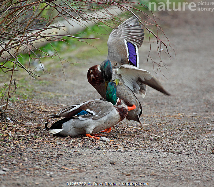 Mallard (Anas platyrhynchos) two drakes fighting, Wales, UK  ,  AGGRESSION,BIRDS,DUCK,DUCKS,EUROPE,FIGHTING,MALES,UK,VERTEBRATES,WALES,WATERFOWL,Concepts, United Kingdom  ,  Dave Bevan