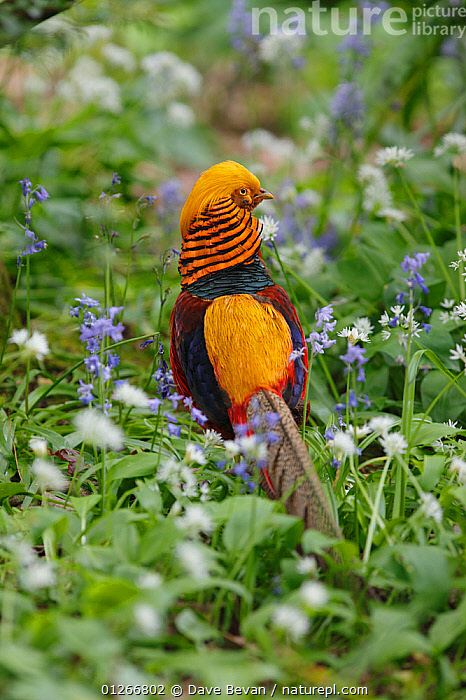 Golden pheasant (Chrysolophus pictus) male amongst Bluebells, introduced species, Wales, UK  ,  BIRDS,BLUEBELL,COLOURFUL,EUROPE,FLOWERS,GALLIFORMES,GAME BIRDS,MALES,PHEASANTS,UK,VERTEBRATES,VERTICAL,WALES,YELLOW, United Kingdom  ,  Dave Bevan