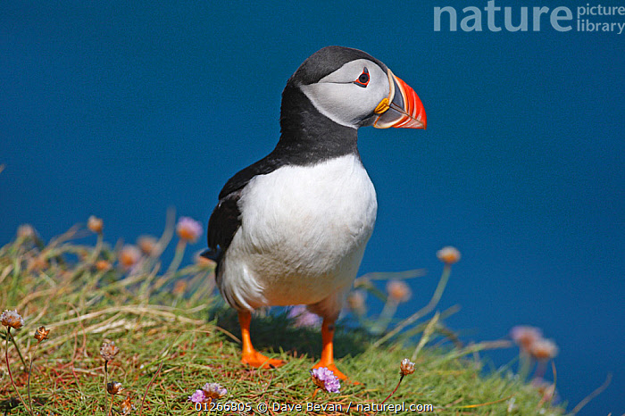 Puffin (Fratercula arctica) standing on cliff ledge, Skomer Island, Wales, UK  ,  ATLANTIC PUFFIN,AUKS,BIRDS,CLIFFS,COASTS,EUROPE,PORTRAITS,SEABIRDS,SEA THRIFT,UK,VERTEBRATES,WALES,Geology, United Kingdom  ,  Dave Bevan