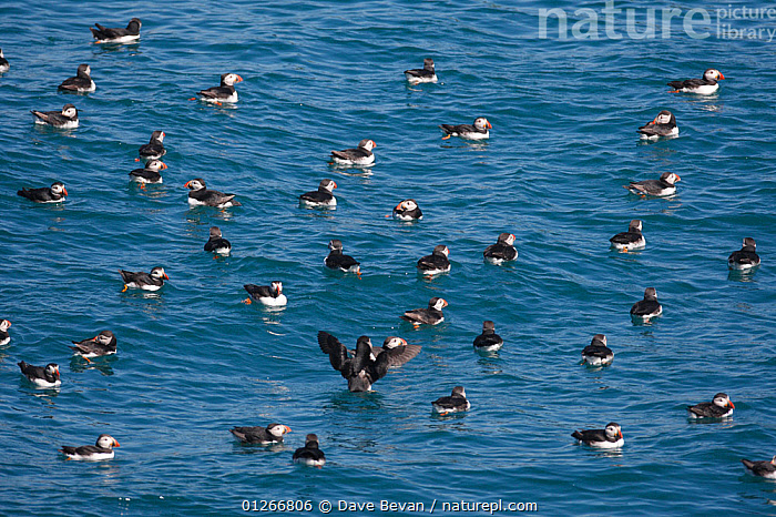 Flock of Puffin (Fratercula arctica) large flock on water, Skomer Island, Wales, UK  ,  ATLANTIC PUFFIN,AUKS,BIRDS,EUROPE,FLOCKS,GROUPS,PATTERNS,SEABIRDS,SURFACE,UK,VERTEBRATES,WALES,WATER,WAVES, United Kingdom  ,  Dave Bevan
