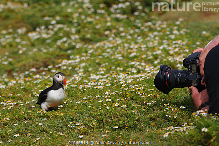 Photographer photographing Puffin (Fratercula arctica) on Skomer island, Wales, UK  ,  ATLANTIC PUFFIN,AUKS,BIRDS,CAMERA,COASTS,EUROPE,FLOWERS,PEOPLE,PHOTOGRAPHY,SEABIRDS,UK,VERTEBRATES,WALES,WILDLIFE, United Kingdom  ,  Dave Bevan
