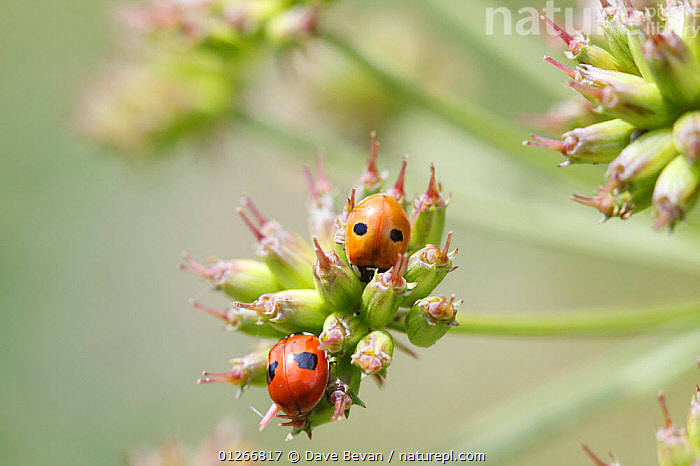 Two spot ladybird (Adalia bipunctata) at rest on seed head, Wales, UK  ,  BEETLES,COLEOPTERA,EUROPE,INSECTS,INVERTEBRATES,LADYBIRDS,SEEDS,TWO,UK,WALES, United Kingdom  ,  Dave Bevan