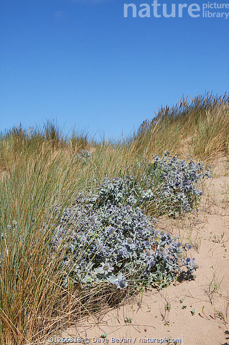 Sea holly (Eryngium maritimum) flowering on sand dunes, Wales, UK  ,  APIACEAE,COASTS,DICOTYLEDONS,EUROPE,FLOWERS,HABITAT,PLANTS,SAND DUNES,UK,UMBELLIFERAE,VERTICAL,WALES, United Kingdom  ,  Dave Bevan