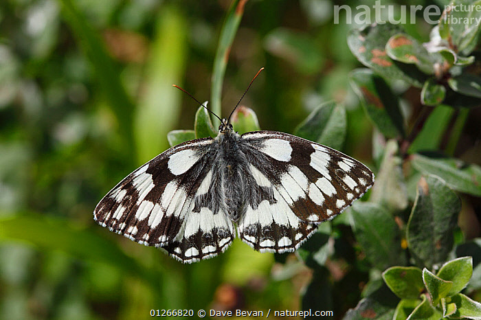 Marbled white butterfly (Melanargia galathea) female at rest, Wales, UK  ,  ARTHROPODS,BLACK AND WHITE,BUTTERFLIES,EUROPE,INSECTS,INVERTEBRATES,LEPIDOPTERA,UK,WALES, United Kingdom  ,  Dave Bevan