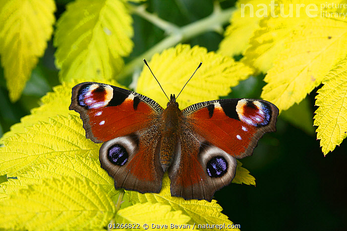 Peacock butterfly (Inachis io) at rest on leaf, Wales, UK  ,  ARTHROPODS,BUTTERFLIES,EUROPE,EYES,INSECTS,INVERTEBRATES,LEPIDOPTERA,PATTERNS,UK,WALES, United Kingdom  ,  Dave Bevan