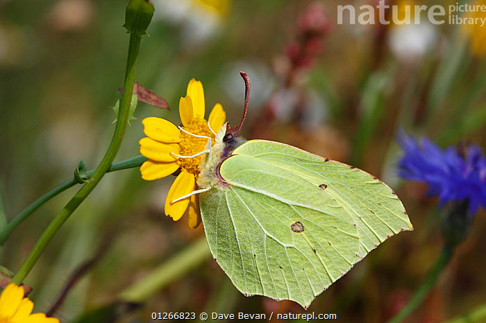 Brimstone butterfly (Gonepteryx rhamni) male feeding on Corn marigold flower (Chrysanthemum segetum) Wales, UK  ,  ARTHROPODS,BUTTERFLIES,EUROPE,FLOWERS,INSECTS,INVERTEBRATES,LEPIDOPTERA,MEADOWLAND,PLANTS,PROFILE,UK,WALES,YELLOW,Grassland, United Kingdom  ,  Dave Bevan