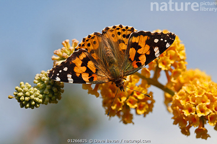 Painted lady (Vanessa cardui) feeding on  buddleia flowers, Wales, UK  ,  ARTHROPODS, BUTTERFLIES, EUROPE, FEEDING, FLOWERS, HIGH-ANGLE-SHOT, INSECTS, INVERTEBRATES, LEPIDOPTERA, PLANTS, UK, WALES,United Kingdom  ,  Dave Bevan