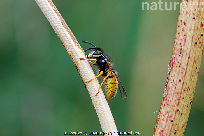 Common wasp (Vespula vulgaris) rasping surface of stem of Fools parsley, UK  ,  BEHAVIOUR,EUROPE,FEEDING,HYMENOPTERA,INSECTS,INVERTEBRATES,STEMS,UK,VERTICAL,WASPS, United Kingdom  ,  Dave Bevan