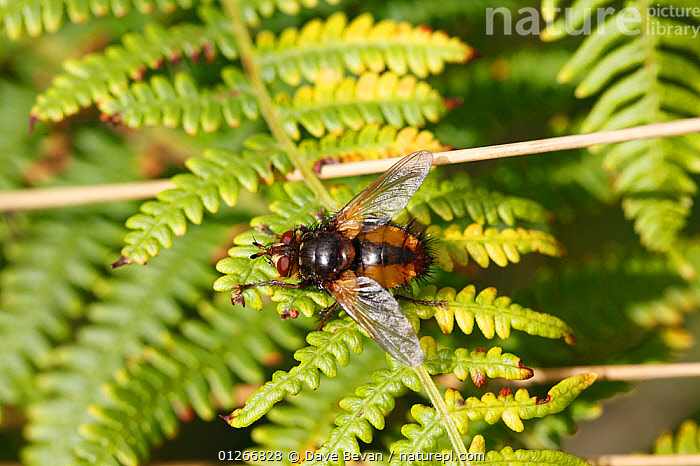 Common rufous paratie fly (Tachina fera) at rest on bracken frond, Wales, UK  ,  DIPTERA,EUROPE,FERNS,FLIES,INSECTS,INVERTEBRATES,UK,Plants, United Kingdom  ,  Dave Bevan