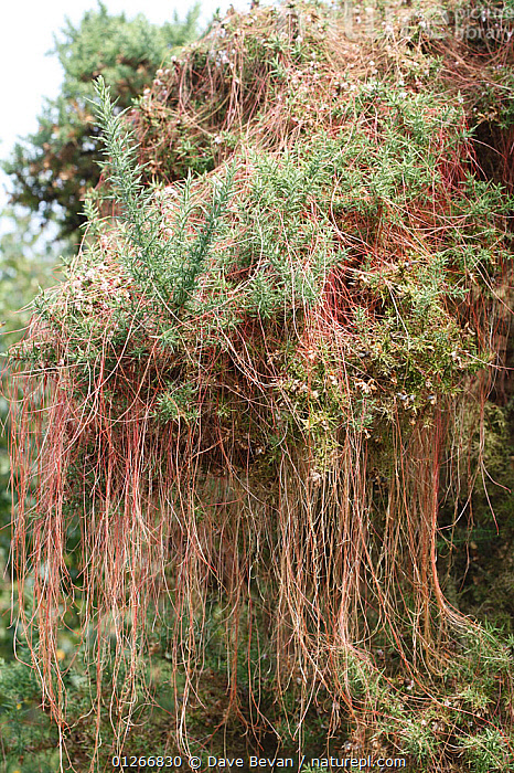 Common dodder (Cuscuta epithymum) growing over gorse bush, Wales, UK  ,  CONVOLVULACAEA,DICOTYLEDONS,EUROPE,PARASITES,PLANTS,UK,VERTICAL,WALES, United Kingdom  ,  Dave Bevan