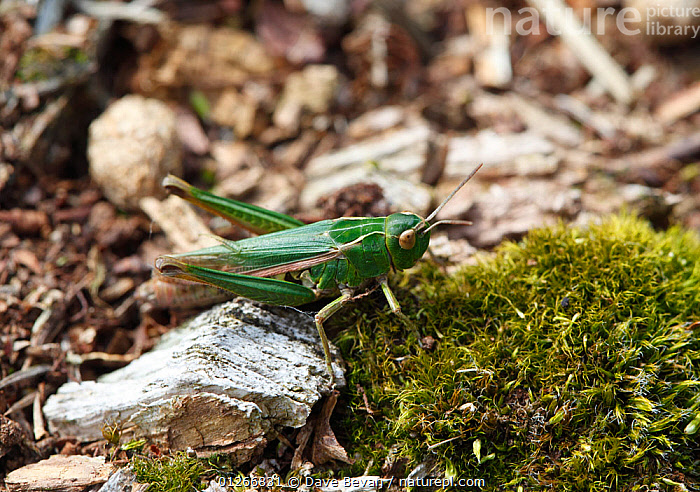 Meadow grasshopper (Chorthippus parallelus) at rest, Wales, UK  ,  EUROPE,GRASSHOPPERS,GREEN,HIGH ANGLE SHOT,INSECTS,INVERTEBRATES,ORTHOPTERA,SHORT HORNED GRASSHOPPERS,UK,WALES, United Kingdom  ,  Dave Bevan