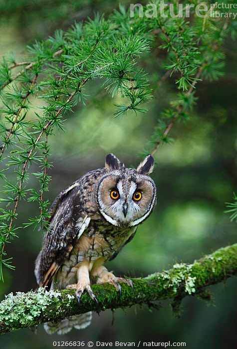 Long eared owl (Asio otus) perched in larch tree, looking curious, Wales, UK Captive  ,  BIRDS,BIRDS OF PREY,EUROPE,EXPRESSIONS,OWLS,PORTRAITS,UK,VERTEBRATES,VERTICAL,WALES, United Kingdom,Raptor, United Kingdom  ,  Dave Bevan