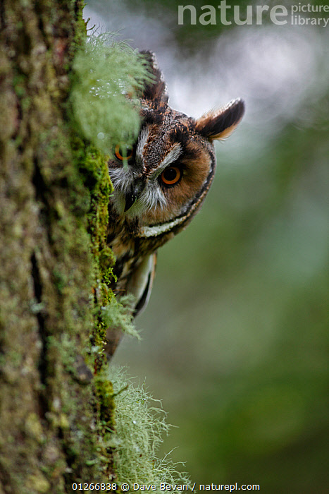 Long eared owl (Asio otus) peering round trunk of larch tree, Wales, UK, captive  ,  animal ear,animal head,animal marking,animals in the wild,BARK,BIRDS,BIRDS OF PREY,captive,CATALOGUE2,Cautious,close up,CLOSE UPS,curiosity,EARS,EUROPE,EXPRESSIONS,HEADS,larch tree,LICHEN,Nobody,one animal,outdoors,OWLS,peeking,Peering,shy,Tree,tree trunk,TRUNKS,UK,VERTEBRATES,VERTICAL,WALES,WILDLIFE,Plants,United Kingdom,Raptor  ,  Dave Bevan