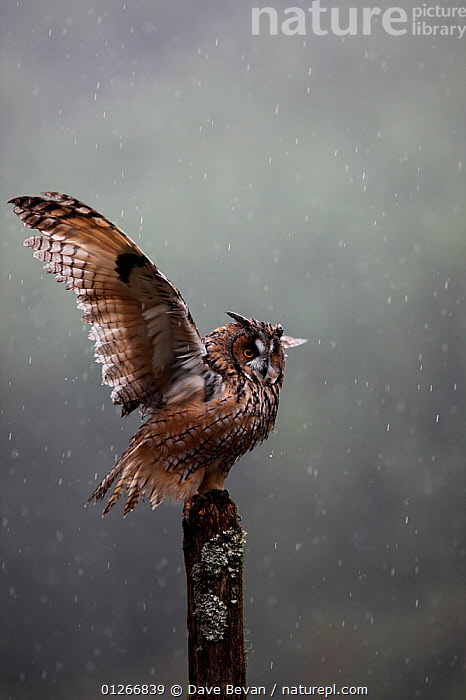 Long eared owl (Asio otus) perched on post, shaking wings in rain, Wales, UK Captive  ,  BEHAVIOUR,BIRDS,BIRDS OF PREY,FEATHERS,FLAPPING,OWLS,RAINING,VERTEBRATES,VERTICAL,WEATHER,WET,WINGS,Europe, United Kingdom,Raptor  ,  Dave Bevan