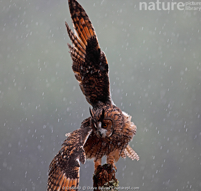 Long eared owl (Asio otus) perched on post, shaking wings in rain, Wales, UK, captive  ,  animal marking,animal wing,animals in the wild,bad weather,Balance,BEHAVIOUR,BIRDS,BIRDS OF PREY,CATALOGUE2,close up,CLOSE UPS,EUROPE,FEATHERS,full length,nature,Nobody,one animal,outdoors,OWLS,Perching,plumage,RAINING,shaking,snowing,STANDING,UK,VERTEBRATES,VERTICAL,WALES,wet,WILDLIFE,WINGS,wingspan,wooden post,Weather,United Kingdom,Raptor  ,  Dave Bevan