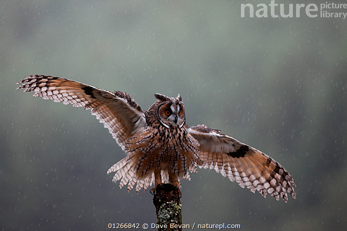 Long eared owl (Asio otus) perched on fence post in rain with wings open, Wales, UK Captive  ,  BEHAVIOUR,BIRDS,BIRDS OF PREY,EUROPE,FEATHERS,FLAPPING,OWLS,RAINING,UK,VERTEBRATES,WALES,WINGS, United Kingdom,Raptor, United Kingdom  ,  Dave Bevan